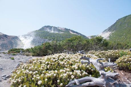 川湯硫黄山のイソツツジとハイマツの写真素材 [FYI01734495]