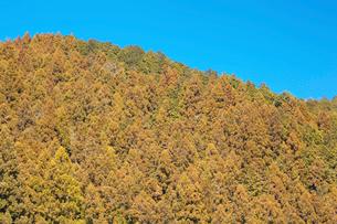 花粉がいっぱいの杉林の写真素材 [FYI01734571]