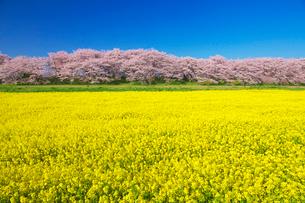 桜と菜の花咲く幸手権現堂堤の写真素材 [FYI01734899]