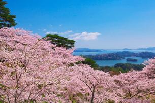 西行戻しの松公園の桜と松島の写真素材 [FYI01735981]