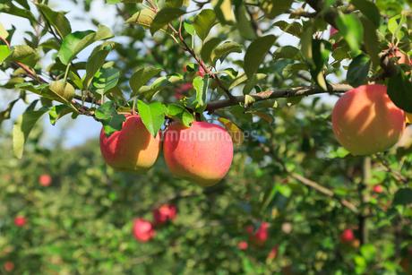 果樹園のりんごの写真素材 [FYI01739141]