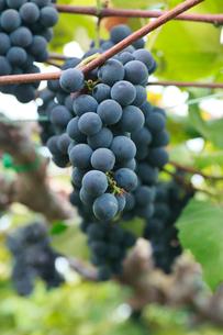 果樹園のブドウの写真素材 [FYI01739174]
