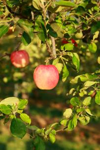 果樹園のりんごの写真素材 [FYI01739181]