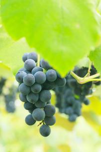 果樹園のブドウの写真素材 [FYI01739196]