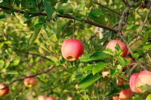 果樹園のりんごの写真素材 [FYI01739198]