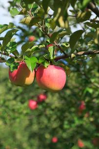 果樹園のりんごの写真素材 [FYI01739209]