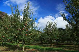 果樹園のりんごの写真素材 [FYI01739210]