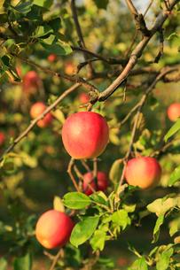 果樹園のりんごの写真素材 [FYI01739214]