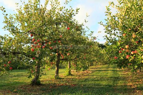 果樹園のりんごの写真素材 [FYI01739216]