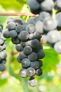 果樹園のブドウの写真素材 [FYI01739229]