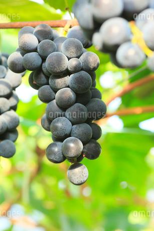 果樹園のブドウの写真素材 [FYI01739295]