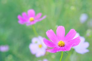 ピンクのコスモスの写真素材 [FYI01739399]