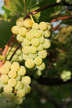 果樹園のブドウの写真素材 [FYI01739487]