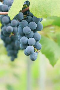 果樹園のブドウの写真素材 [FYI01739568]