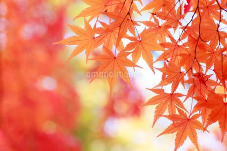 モミジの紅葉の写真素材 [FYI01739656]