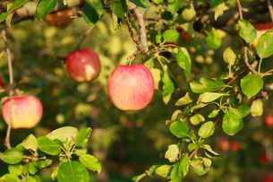果樹園のりんごの写真素材 [FYI01739719]