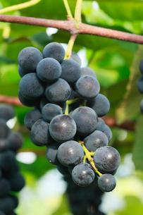 果樹園のブドウの写真素材 [FYI01740260]