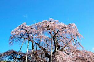 三春の滝桜の写真素材 [FYI01740504]