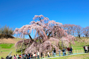 三春の滝桜の写真素材 [FYI01740519]