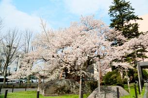 岩手県 石割桜の写真素材 [FYI01740596]