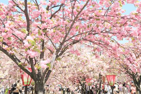 大阪造幣局 桜の通り抜けの写真素材 [FYI01740678]