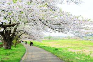 岩手県 北上展勝地の桜の写真素材 [FYI01740679]