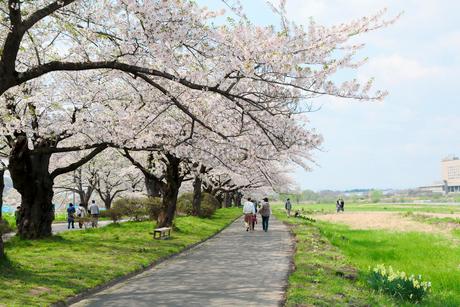 岩手県 北上展勝地の桜の写真素材 [FYI01740736]