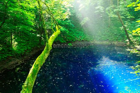 白神山地 十二湖の青池の写真素材 [FYI01740760]