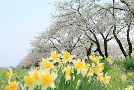 岩手県 北上展勝地の桜の写真素材 [FYI01740824]