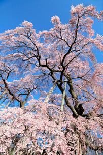 三春の滝桜の写真素材 [FYI01740835]