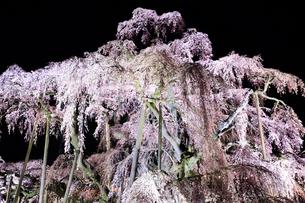 ライトアップされた三春の滝桜の写真素材 [FYI01740836]