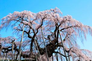 三春の滝桜の写真素材 [FYI01740863]