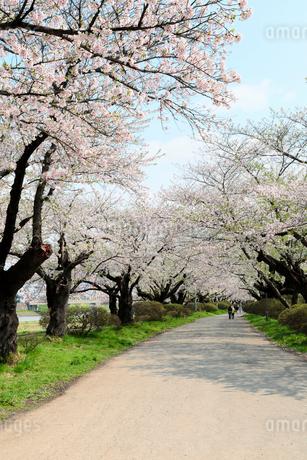 岩手県 北上展勝地の桜の写真素材 [FYI01740897]