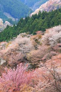 奈良県 吉野山の桜の写真素材 [FYI01740902]