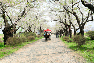岩手県 北上展勝地の桜と馬車の写真素材 [FYI01741056]