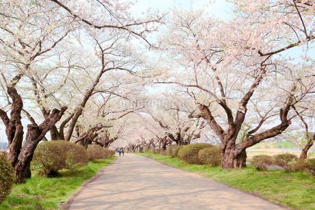 岩手県 北上展勝地の桜の写真素材 [FYI01741092]