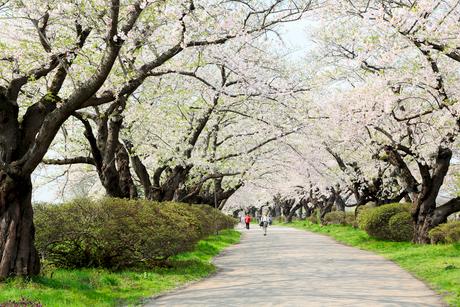 岩手県 北上展勝地の桜の写真素材 [FYI01741193]