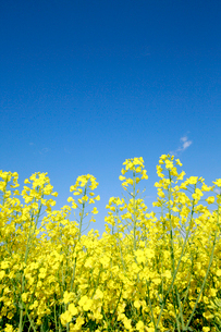 菜の花と青空の写真素材 [FYI01741249]