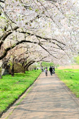 岩手県 北上展勝地の桜の写真素材 [FYI01741325]