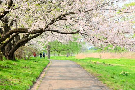 岩手県 北上展勝地の桜の写真素材 [FYI01741341]