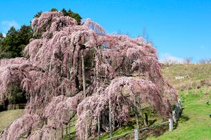 三春の滝桜の写真素材 [FYI01741380]
