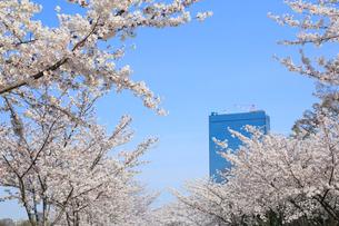 大阪城公園の桜とビジネスパークの写真素材 [FYI01741388]
