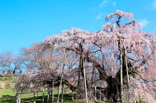 三春の滝桜の写真素材 [FYI01741426]