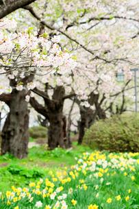 岩手県 北上展勝地の桜の写真素材 [FYI01741455]