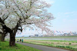岩手県 北上展勝地の桜の写真素材 [FYI01741466]