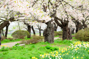 岩手県 北上展勝地の桜の写真素材 [FYI01741597]