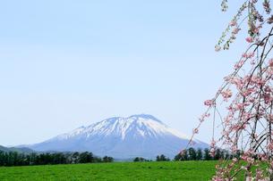 岩手県 岩手山と枝垂れ桜の写真素材 [FYI01741613]