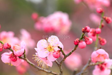 梅の花の写真素材 [FYI01741644]