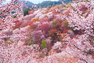 奈良県 吉野山の桜の写真素材 [FYI01742069]
