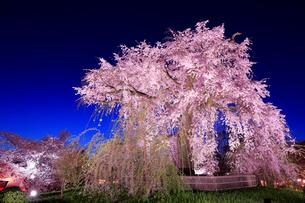 京都 円山公園の夜桜の写真素材 [FYI01742073]